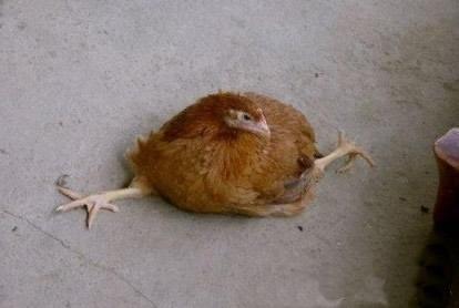 鸡都能劈叉了,让人情何以堪?