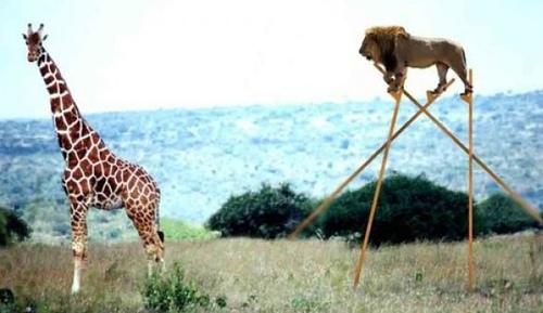 动物界中,身高也是敏感问题呀