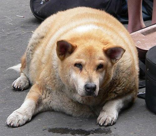 世界各地体重严重超标的宠物